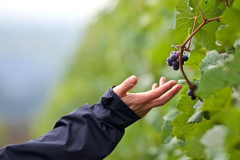 uvas_viticultura