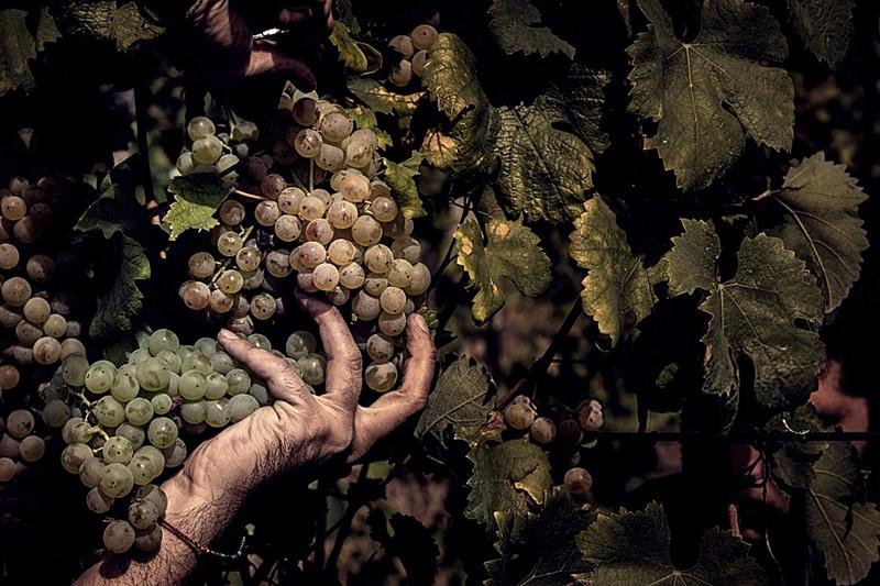 datos de salud sobre las uvas verdes y la diabetes