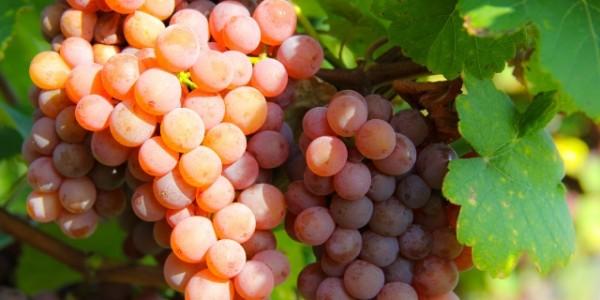 Gewürztraminer uvas