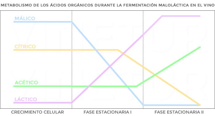 Metabolismo de los ácidos orgánicos durante la fermentación maloláctica en el vino