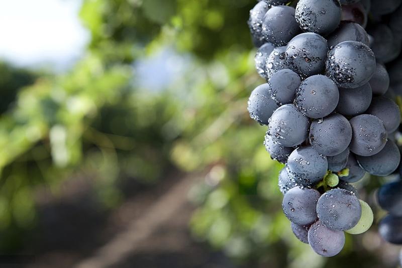 Uvas tintas o negras