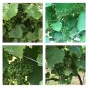 Así están nuestras viñas